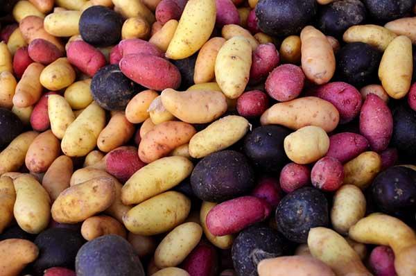 Выращивание картофеля по голландской технологии