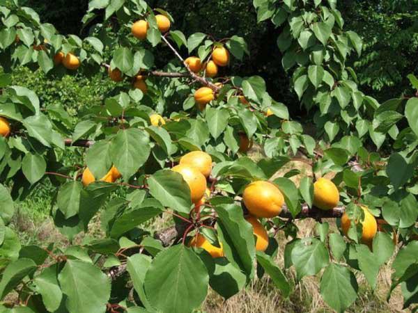 Зачем прививать абрикос