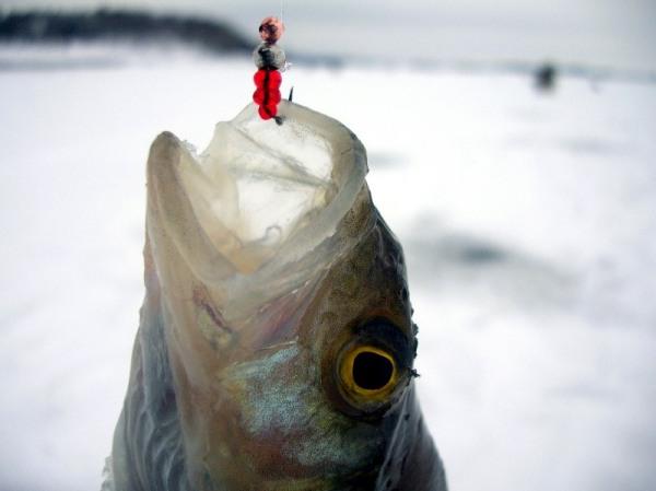 Зимняя рыбалка на окуня на мормышку