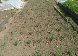 Лук шалот (семейный): посадка, уход и выращивание в открытом грунте весной и осенью