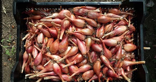 Хранение урожая лука-шалота