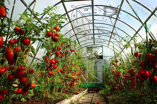 Как бороться с белокрылкой на помидорах в теплице - способы