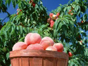 Специфика посадки персикового дерева