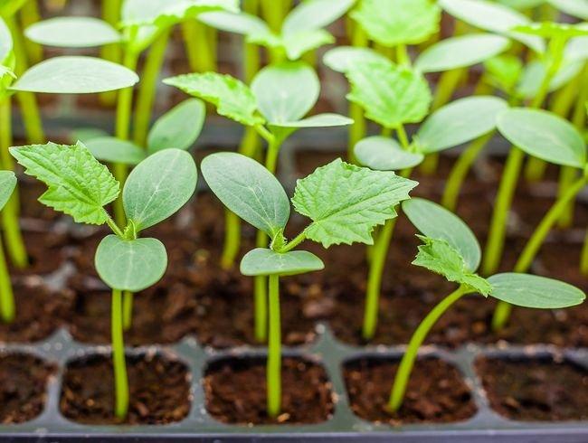 Как правильно сажать семена на рассаду
