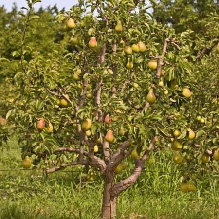 Как ухаживать за грушей весной, чтобы был хороший урожай
