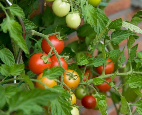 Какие удобрения вносить для помидор в теплицу
