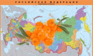 Когда сажать облепиху в Подмосковье, Поволжье, на Урале и в Сибири