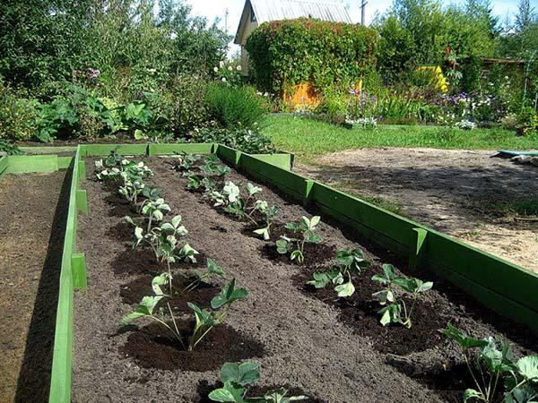 Посадка клубники весной в открытый грунт какие вносить удобрения