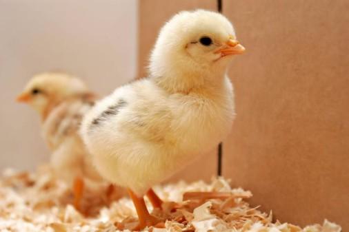 Особенности определения пола у цыплят