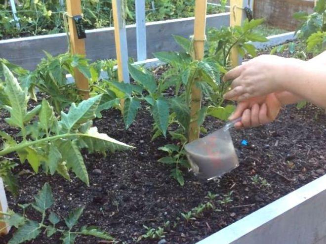 Подкормка томатов после высадки в теплицу