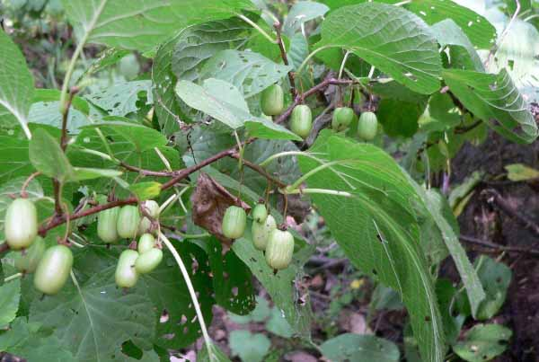 Посадка актинидии весной и осенью: пошаговая инструкция