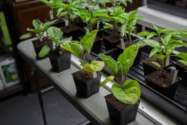Секреты выращивания рассады баклажан