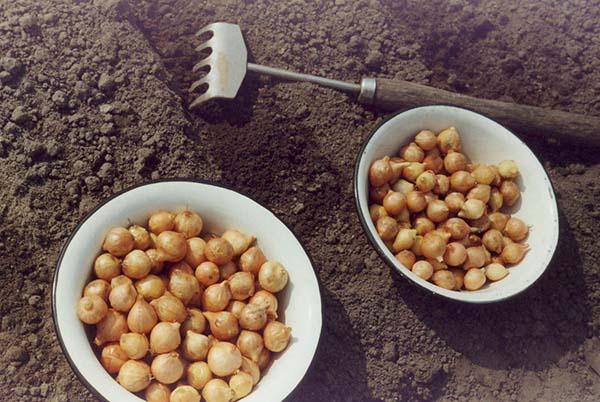 Правила посадки и выращивания лука севка весной