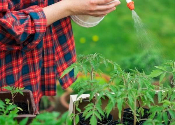 Внекорневая подкормка помидоров в теплице