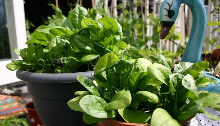 Выращивание шпината на подоконнике или балконе