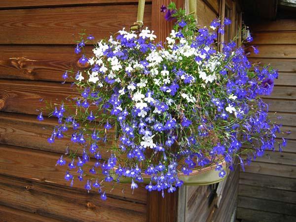 Выращивание лобелии из семян в домашних условиях