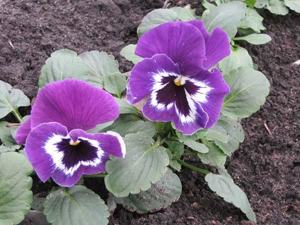 Как вырастить виолу из семян