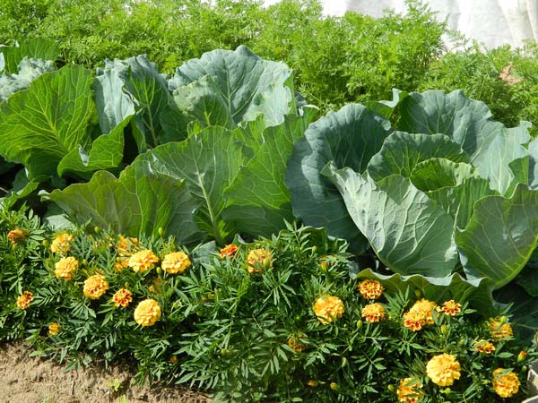 Как выращивать бархатцы в домашних условиях?