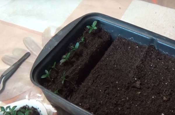 Когда высаживать семена бархатцев