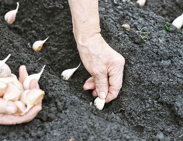 Чеснок посадка и уход в открытом грунте весной