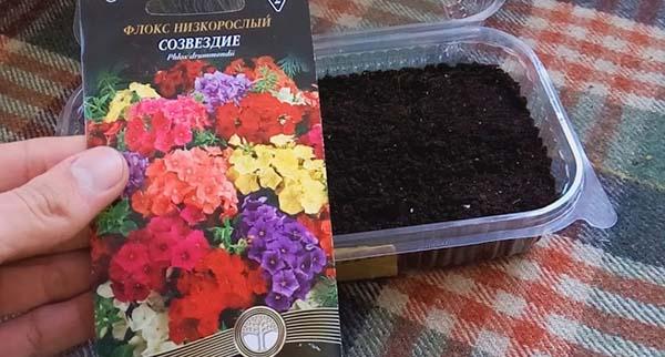 Посадка цветов флоксы и уход за ними
