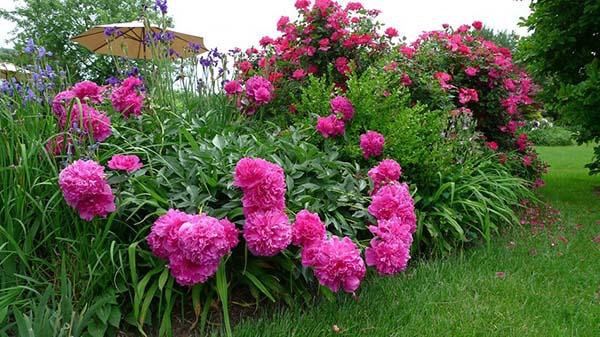 Пионы цветут в первый год после посадки — Мир цветов