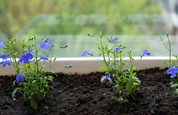 посадка лобелии семенами на рассаду в домашних