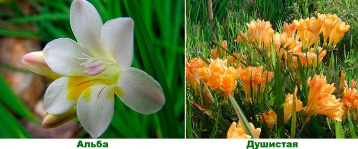 Фрезия – выращивание, посадка и уход в открытом грунте