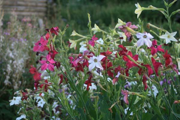 Тенелюбивые кустарники для сада многолетние цветущие