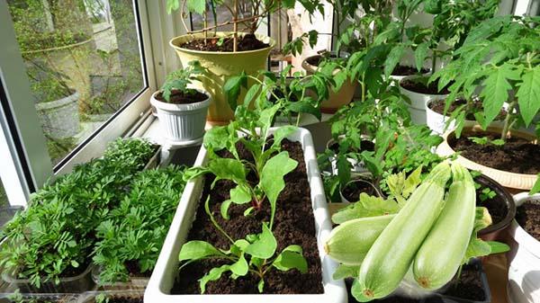 Сроки посадки семян кабачка в открытый грунт