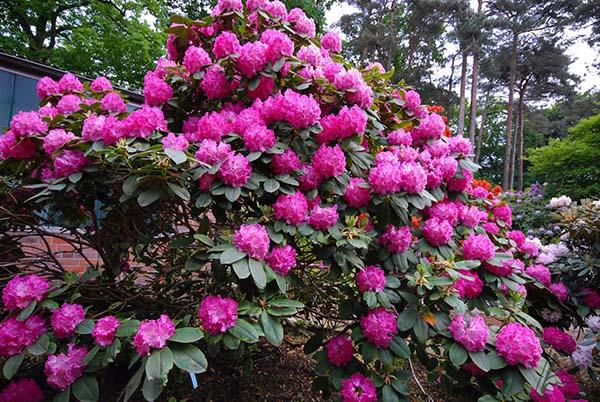 Рододендрон: посадка и уход в открытом грунте, фото, сорта, размножение, выращивание и сочетание в ландшафтном дизайне