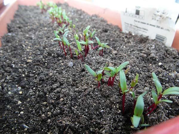 Как правильно выращивать буряк в открытом грунте?