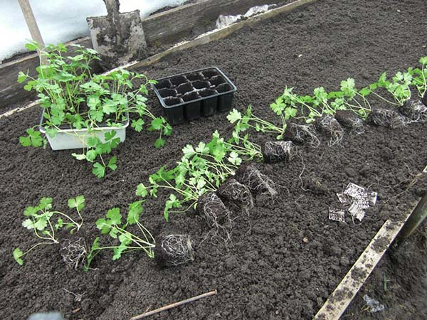 Когда и как сеять петрушку в открытый грунт: правила посадки и выращивания