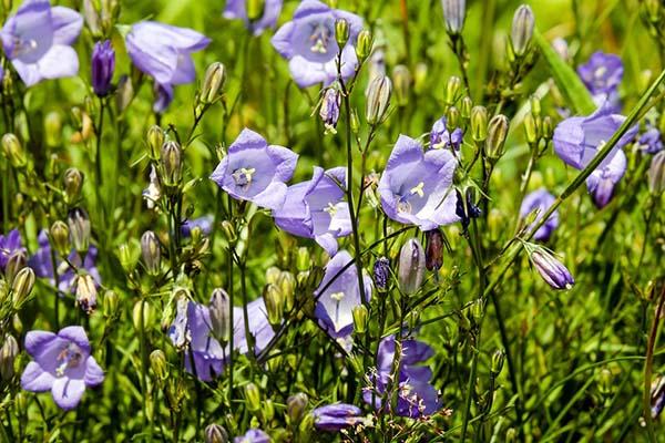 100 Самых популярных полевых и луговых цветов