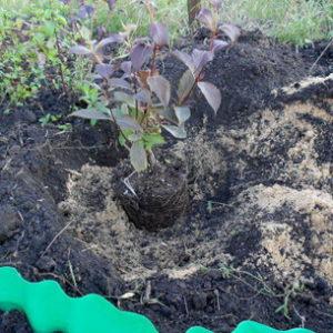 Вейгела посадка и уход выращивание в саду
