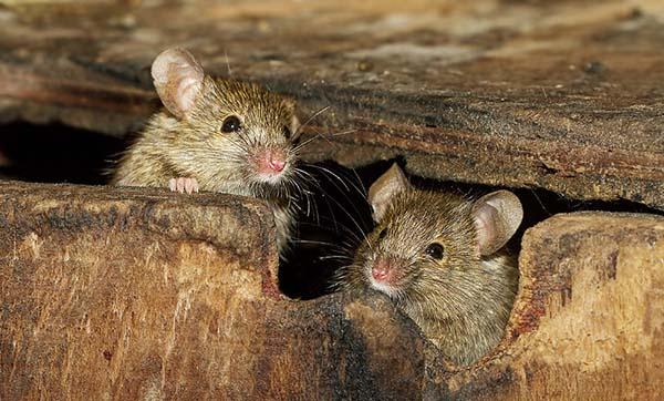 Народное средство от мышей на участке