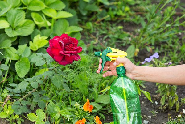 Чем обработать и опрыскать розы от тли: химия или народные средства