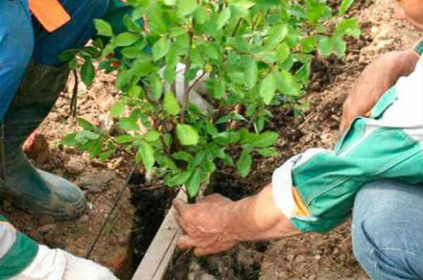 Барбарис посадка и уход в открытом грунте в сибири