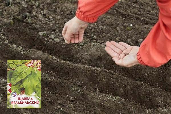 Когда и как сеять щавель весной и осенью (под зиму) в открытый грунт: правила посадки и выращивания