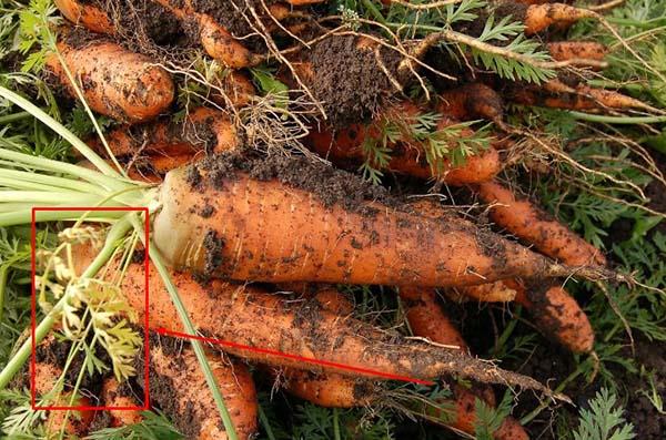 Как хранить морковь после сбора урожая