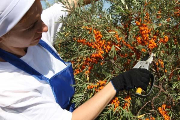 Как собирать облепиху: устройства и приспособления, советы и рекомендации как снимать ягоды облепихи правильно (95 фото)