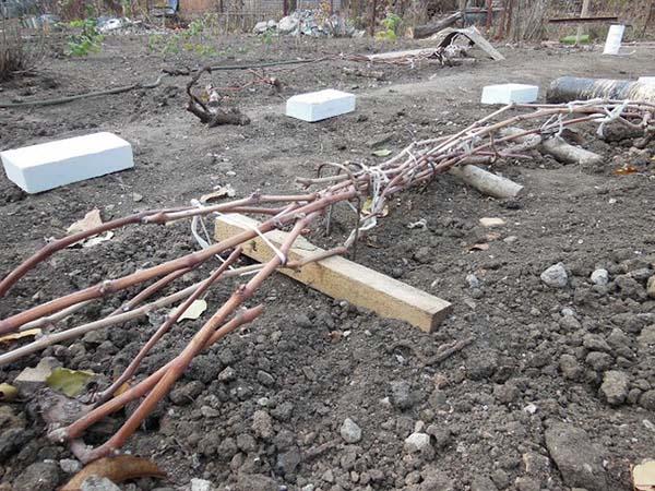 При какой температуре укрывают виноград способы укрытия