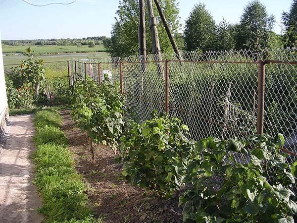 Пересадка смородины на новое место, в том числе весной
