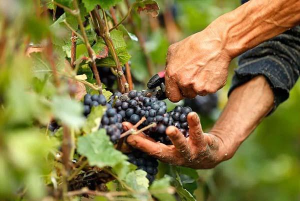 Как подготовить виноград к зиме на урале