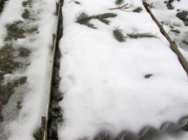 Свекла посадка и уход в открытом грунте под зиму