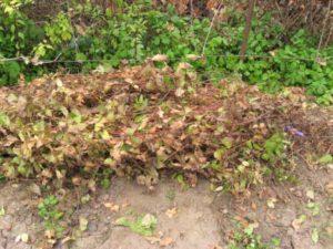 Когда укрывать клематисы осенью