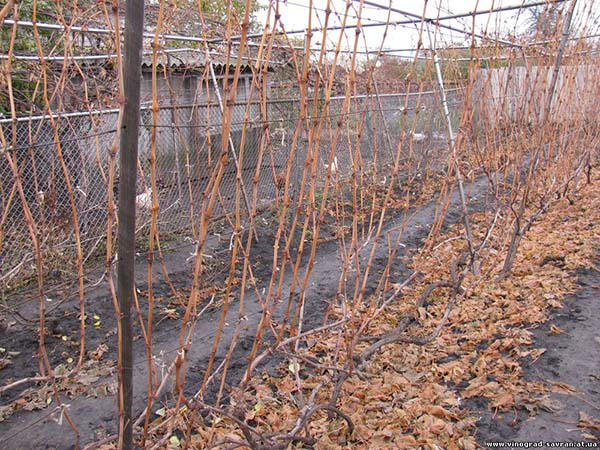 Осенняя обрезка винограда в подмосковье