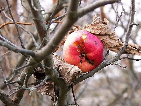 Опрыскивание яблонь осенью от вредителей и болезней