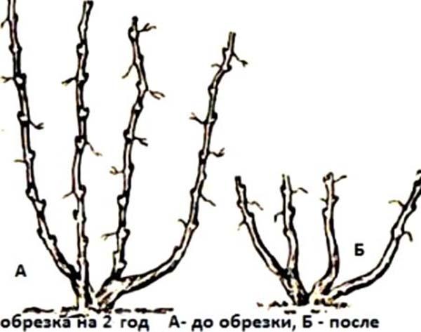 Виноград изабелла посадка черенками осенью — Зеленый мир