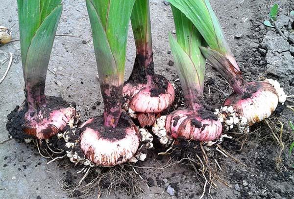 Как обработать гладиолусы после выкапывания — Цветы букеты